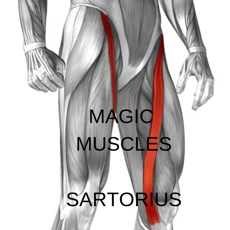 Magic Muscles - Sartorius
